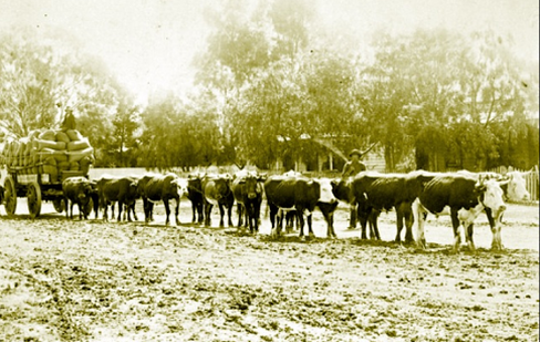 Picture of a Bullock Team